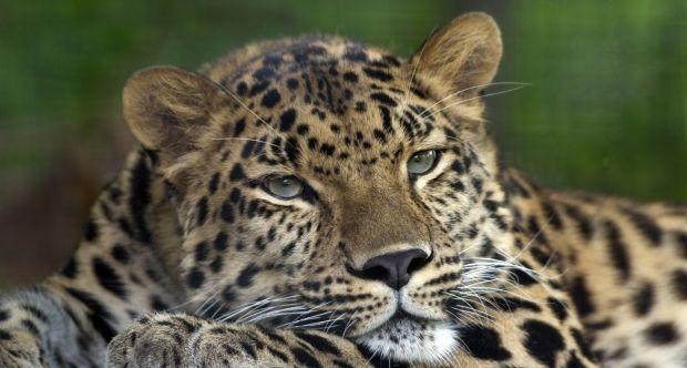 По всей видимости, леопард пришел в город из леса/ фото wikimedia.org