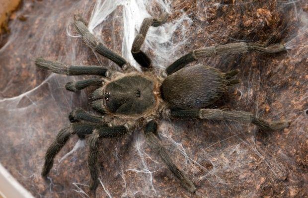 Вчені відкрили одразу 18 нових видів павуків-канібалів