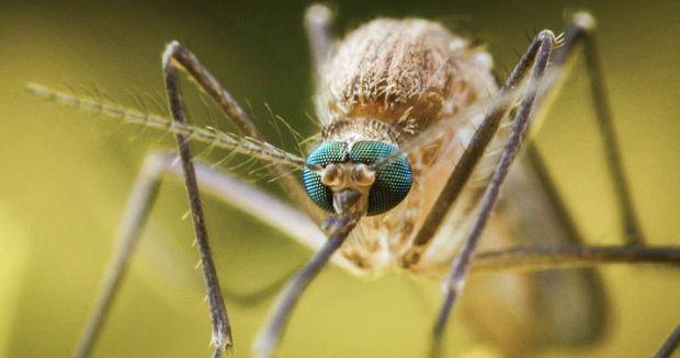 Грибок начал выделять паучий токсин, смертельно опасный для малярийных комаров / фото moya-planeta.ru