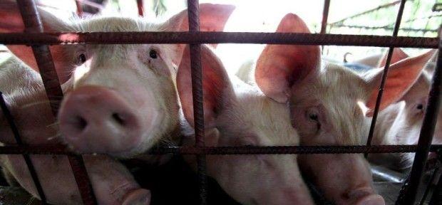 Беларусь ввела запрет на ввоз свинины из Кировоградской области Украины из-за АЧС / telegraf.com.ua