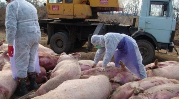 В Винницкой области уничтожено более 350 голов свиней из-за вспышки АЧС / agronews.ua