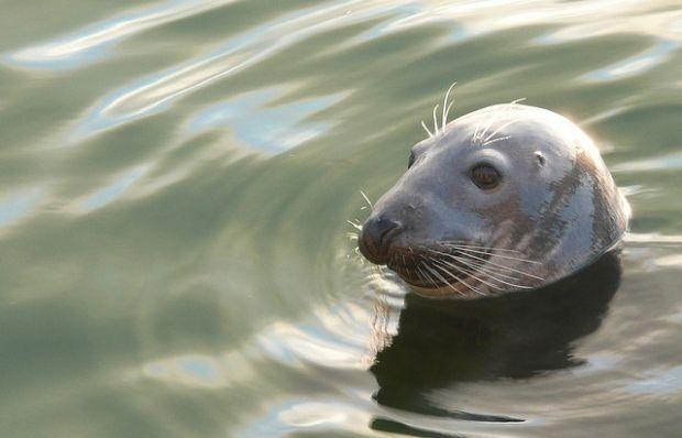 Тюлені зупиняються на французьких пляжах, аби перепочити перед полюванням у морі / фото flickr.com/photos/john47kent