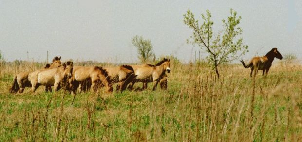 Przewalski's horses. Chernobyl zone, 1998 / Photo from UNIAN