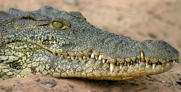 На Черниговщине нашли мертвого крокодила / фото ioamolamaremma.wordpress.com