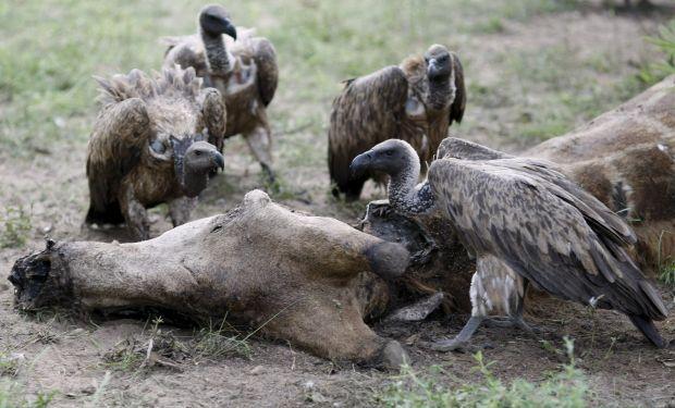 Популяция грифов в Индии оказалась под угрозой / Фото REUTERS