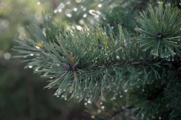 Украинские хвойные леса буквально усеянные желто-рыжими участками \ фото: УНИАН