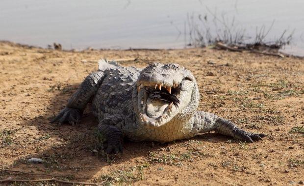 Крокодил поселился в окрестностях села Счастливцево / фото REUTERS