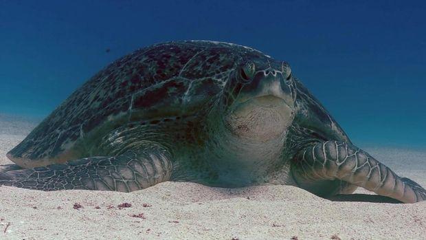 В популяции черепах на Большом барьерном рифе стало слишком много самок / dxnews.com