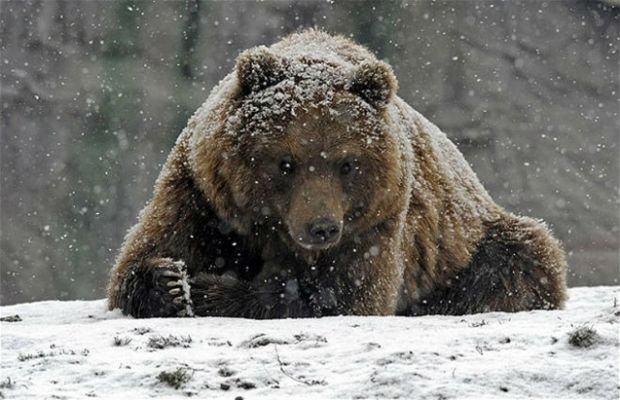 медведь / opogode.ua