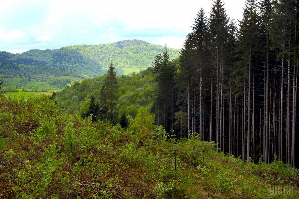Лісгоспи у 2017 році відновили 53,2 тис. га лісів / фото УНІАН