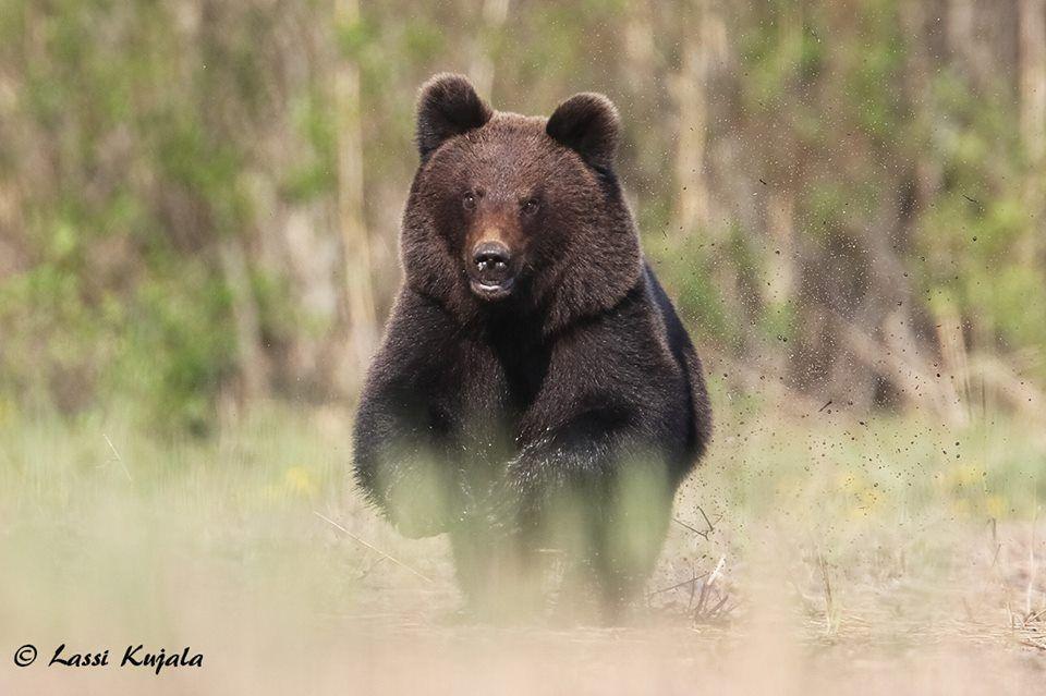 медведь / facebook.com/lassi.kujala