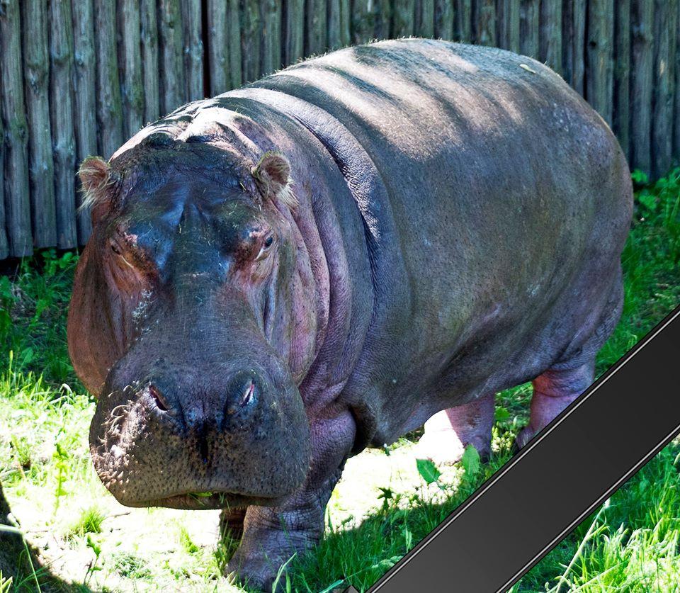 У Київському зоопарку померла найстаріша бегемотиха у світі/ facebook.com/kiev.zoo.ua