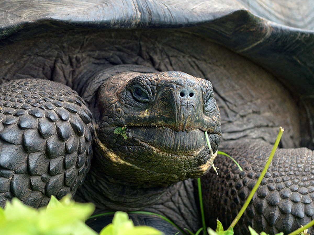 В Китае умерла одна из самых редких черепах / фото esf.edu