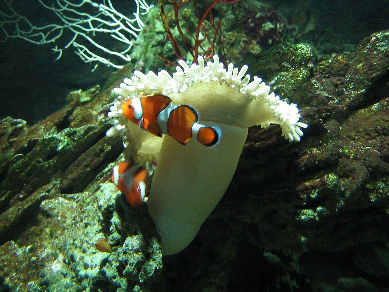 Рыбы-клоуны / wikipedia.org