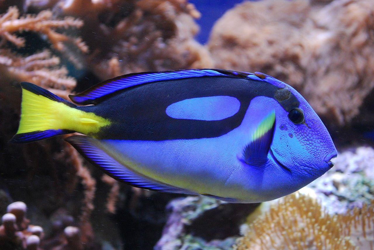 рыбки / ru.wikipedia.org