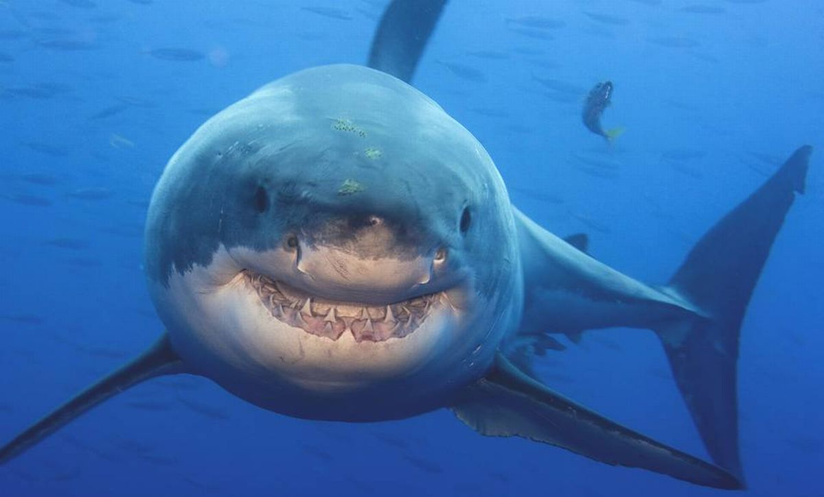 """Избегать термина """"нападение акул"""" уже решили власти некоторых австралийских штатов / фото wsj.com"""