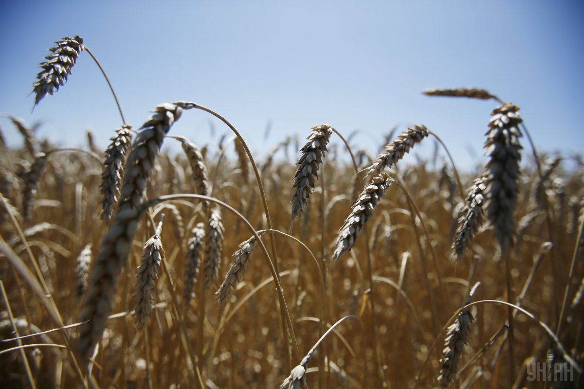 Госкорпорация намерена закупить 360 тыс. тонн пшеницы, кукурузы и ячменя / фото УНИАН