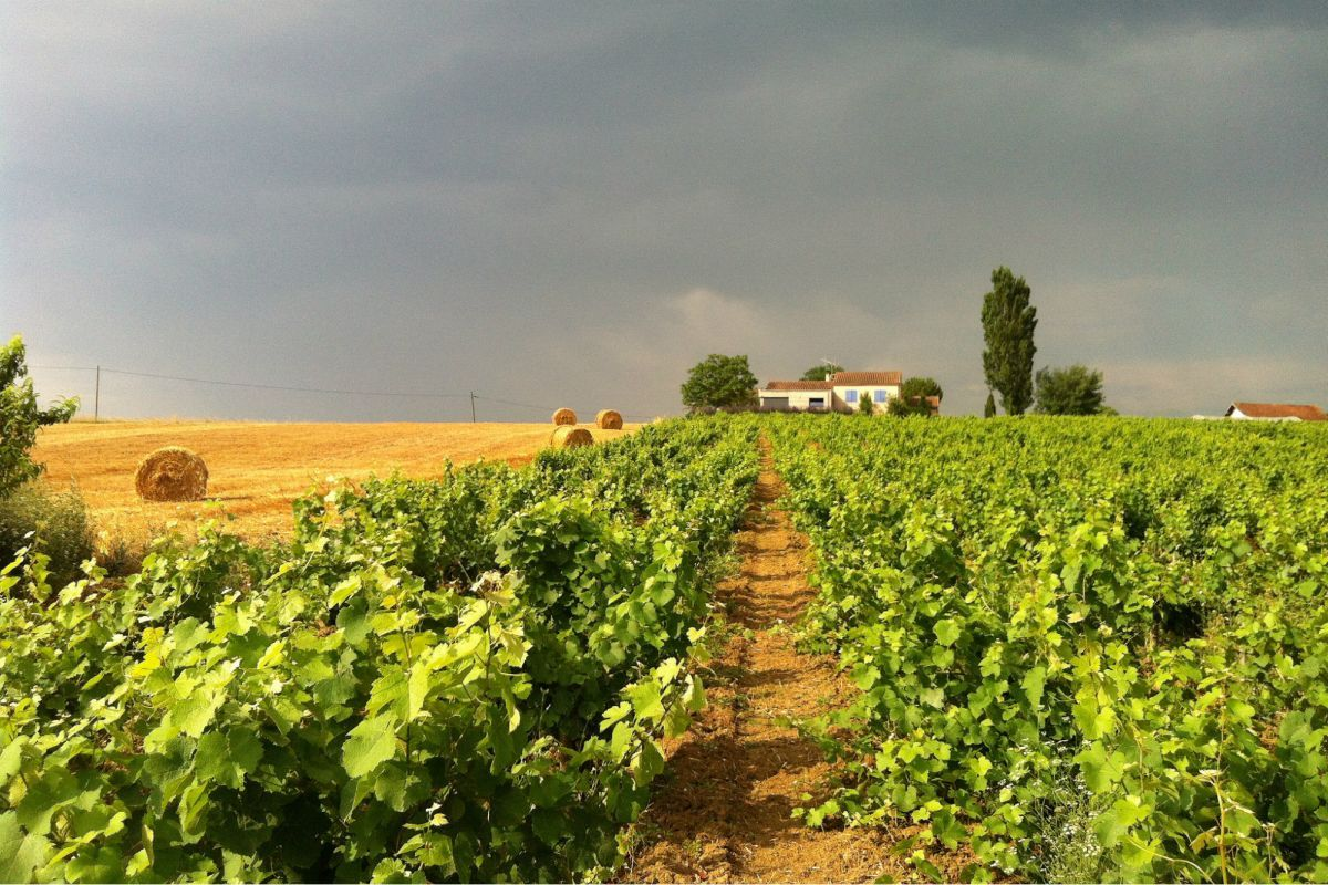 Планується збільшення дотацій на закладку виноградників / Ілюстрація REUTERS