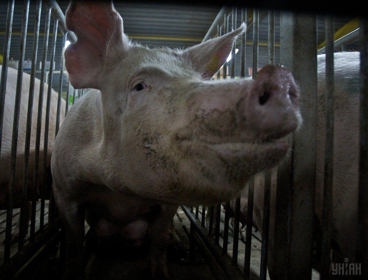 ВКиевской области произошла новая вспышка чумы свиней
