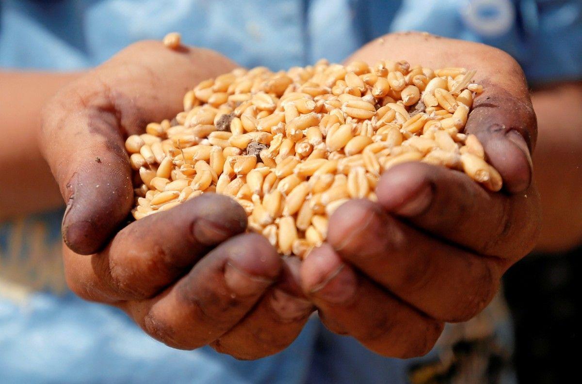Большая часть урожая пшеницы в Украине будет фуражной / REUTERS