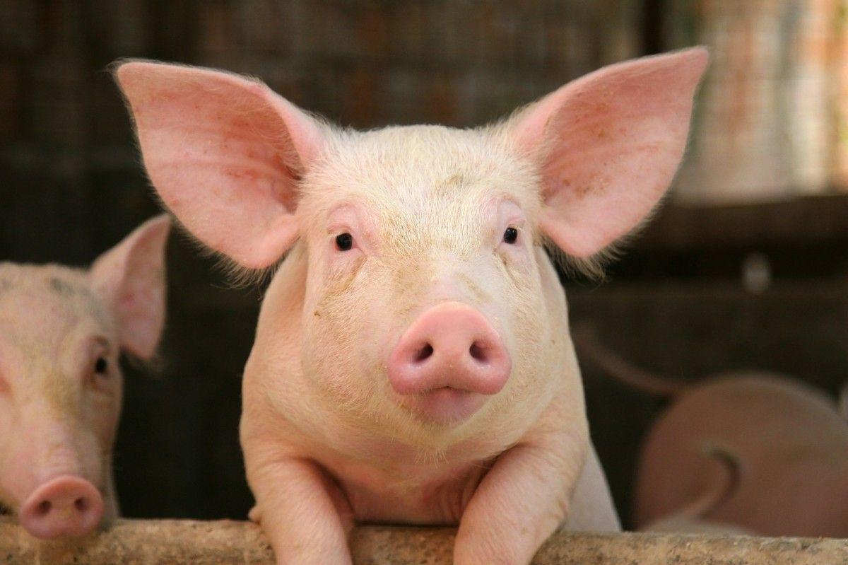 В 2000 году английские ученые впервые в мире провели успешную операцию по клонированию свиньи / фото REUTERS