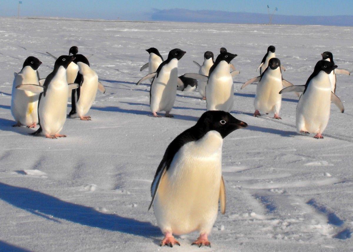 Пингвины Адели под угрозой вымирания из-за таяния Антарктиды / Фото franniehaynes.blogspot.com