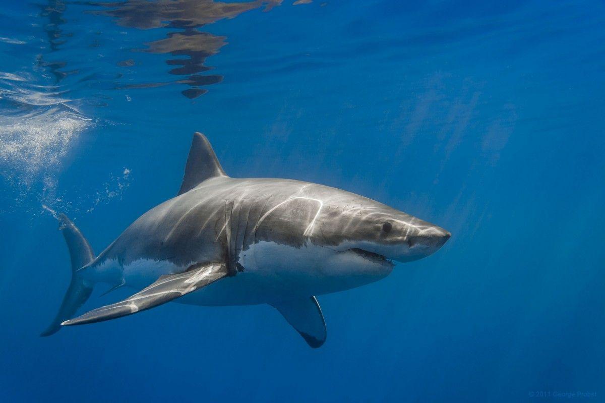 В США акула напала на человека, от полученных травм мужчина скончался / flickr.com George Probst