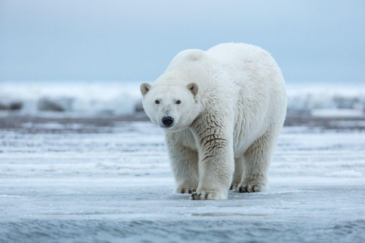 Полярные медведи стали меньше охотиться из-за таяния льдов / outdoorphotographer.com