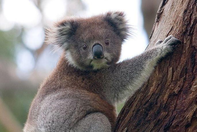 коала / wikipedia.org