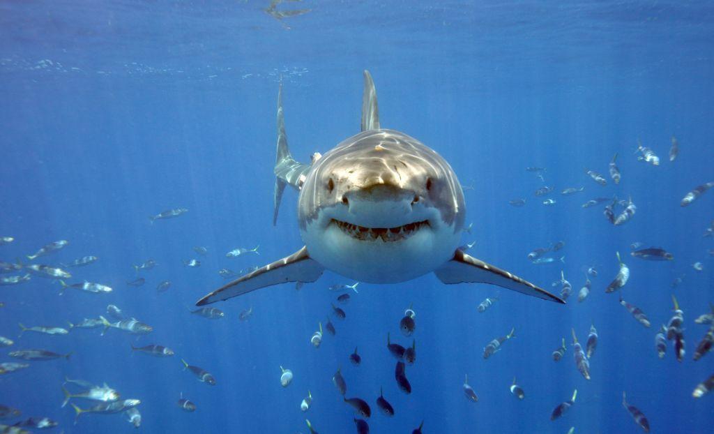 Большая белая акула / Фото ikapa.ru