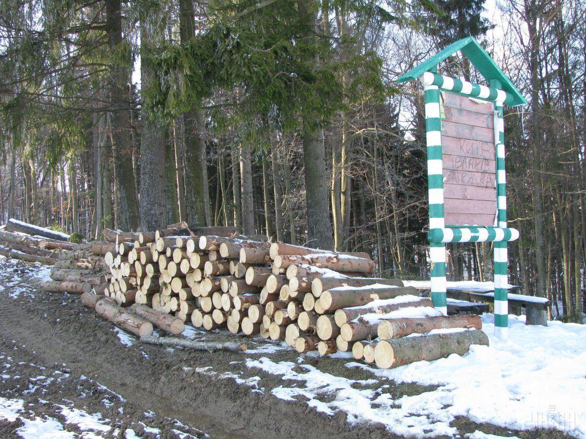 Луценко: Під ніж пускають столітні смереки, які оформляють як дрова / Фото УНІАН