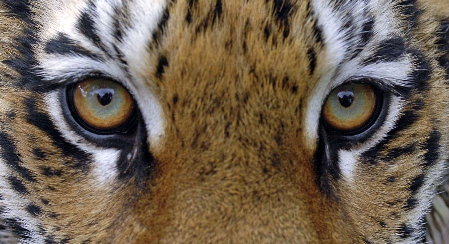 Суматранский тигр – это наименее численный вид этих животных и сейчас под угрозой исчезновения / фото programmes.putin.kremlin.ru