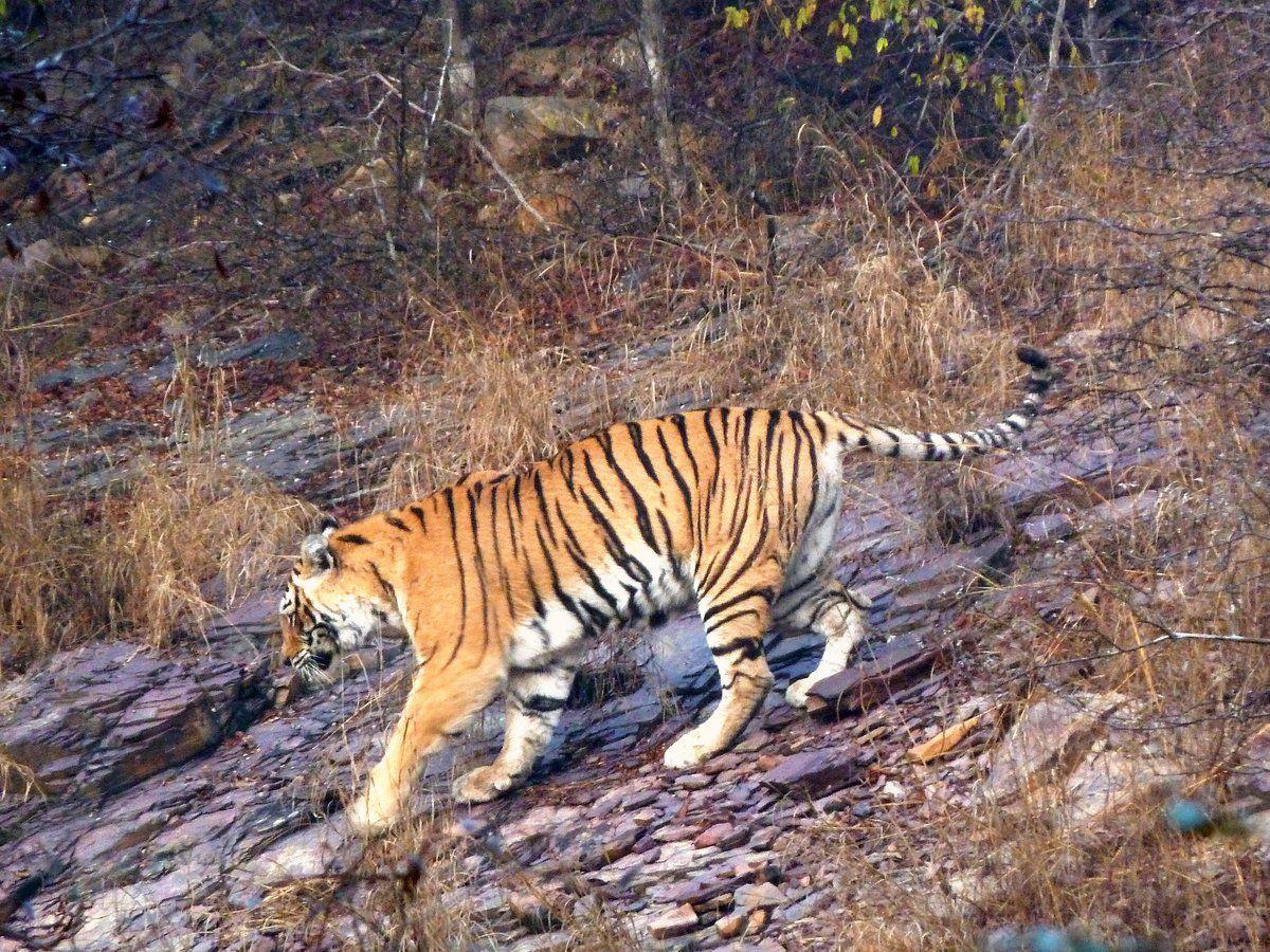 тигр / twitter.com/timesofindia