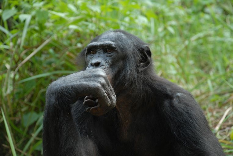 Шимпанзе-самцы склонны больше реагировать на музыку, чем самки / calphotos.berkeley.edu