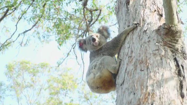 коала / скриншот