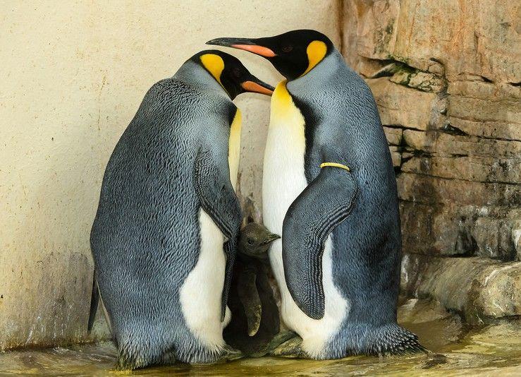 Семья королевских пингвинов в венском зоопарке / Фото zoovienna.at