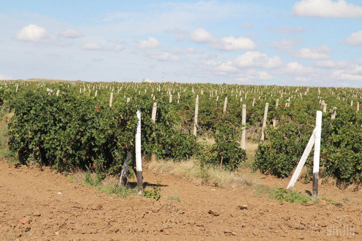 Площади виноградников в Крыму сократились втрое / фото УНИАН