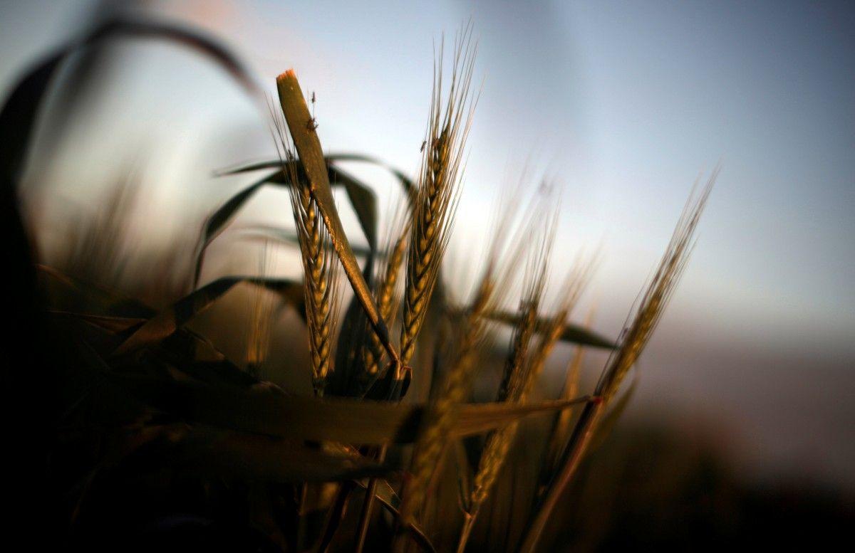 Пшениця / REUTERS