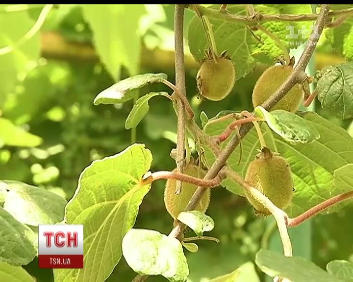В Ужгороде вырастили уникальный морозостойкий сорт киви / скриншот с видео