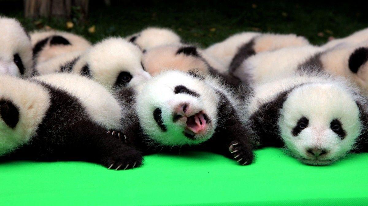 Маленькие панды / Фото REUTERS