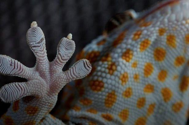 Спинной мозг гекконов содержит особый вид клеток / фого wikipedia.org