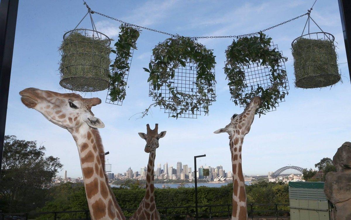 Жирафы получили праздничное угощение по Сиднейского зоопарка / Фото Rick Stevens