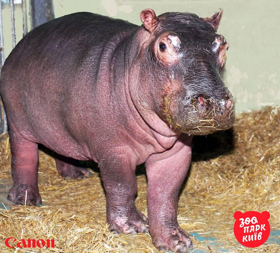 Нова бегемотиха з київському зоопарку / Фото facebook.com/zoo.kiev.ua