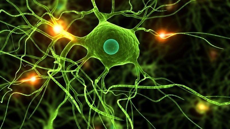 Человеческий мозг развивается дольше, чем мозг шимпанзе / NPR