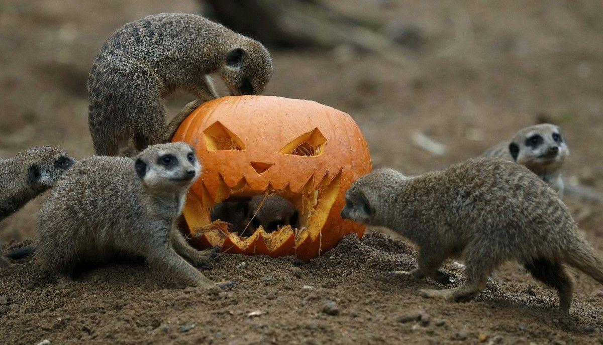 Суррикаты в зоопарке Честера / Фото REUTERS