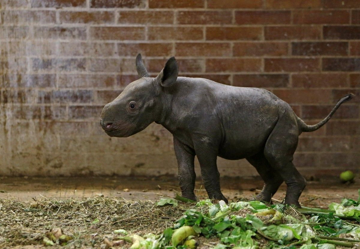 Маленький носорог в чешском зоопарке / Фото REUTERS