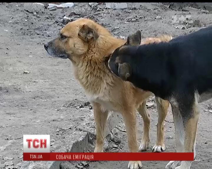 Днепровские волонтеры нашли новый дом за рубежом тысячам искалеченных собак /