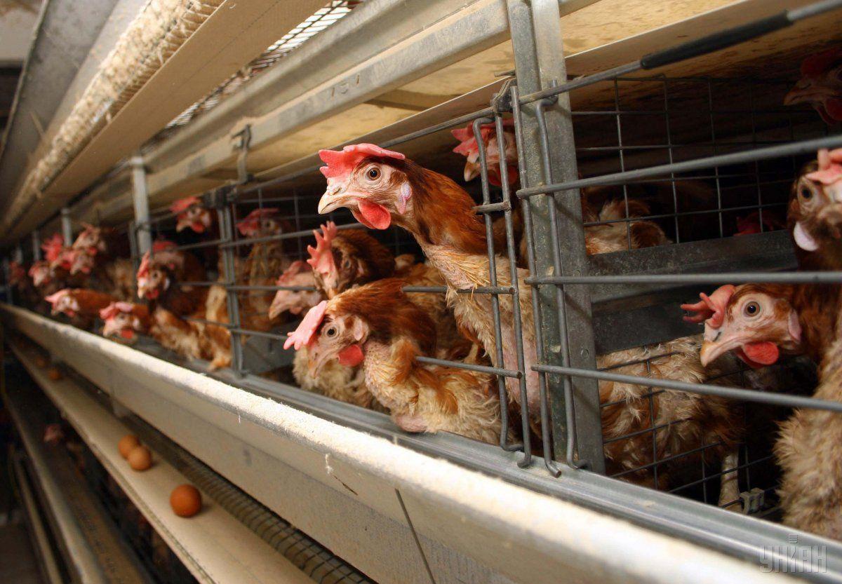 В соцсетях пишут, что на фабрике – вспышка птичьего гриппа / фото: УНИАН