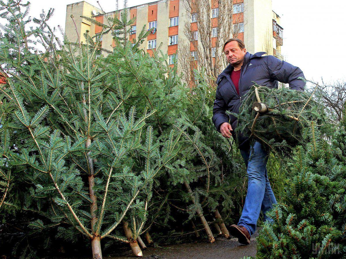 Абсолютно все елки находятся под риском быть срубленными / Фото УНИАН