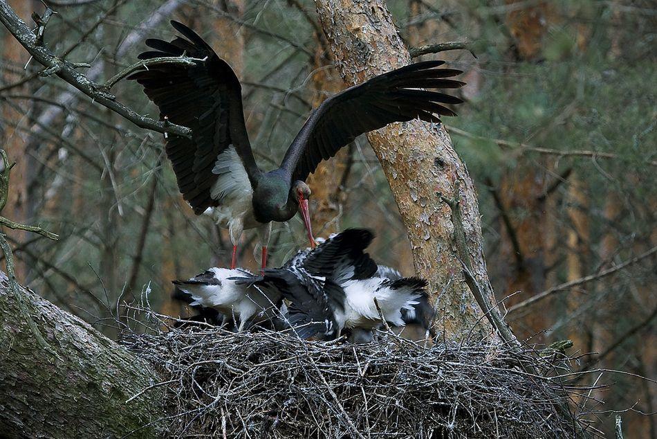 Гнездо черного аиста / Фото Vesti22.tv
